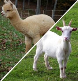 Goat / Alpaca