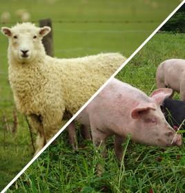 Sheep / Pig